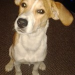 SHEENA BEAGLE X MAR14 2