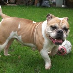 dolly  BULLDOG