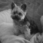 Yorkshire_Terrier_by_82HannaH